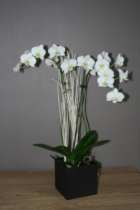 [Photos] Vos Phalaenopsis Phalblanc