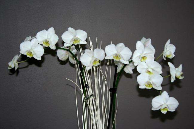 [Photos] Vos Phalaenopsis Phalblanc2